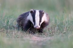 Badger E7335.jpg