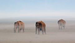 Asian elephants in mist