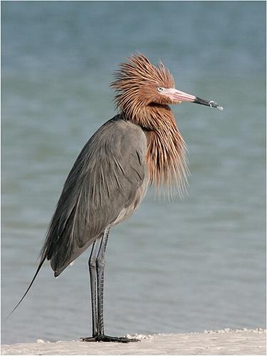Rddish egret