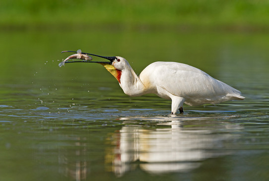 Spoonbill with catch