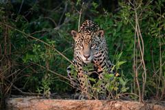 Jaguar 78273.jpg