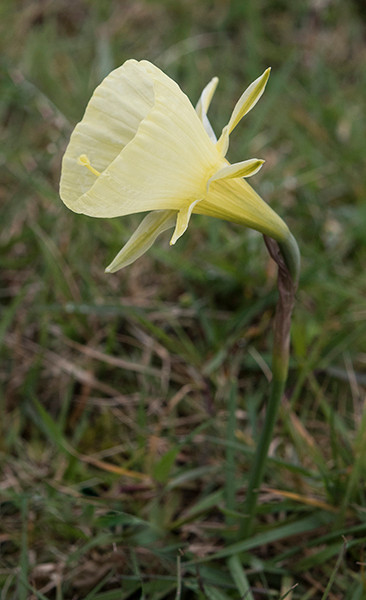 Narcissus bulbocodium ssp. citrinus