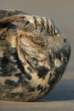 Grey seal 63081.jpg