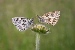 Marbled Whites on Field Scabious