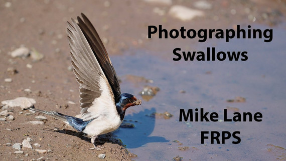 Photographing Swallows