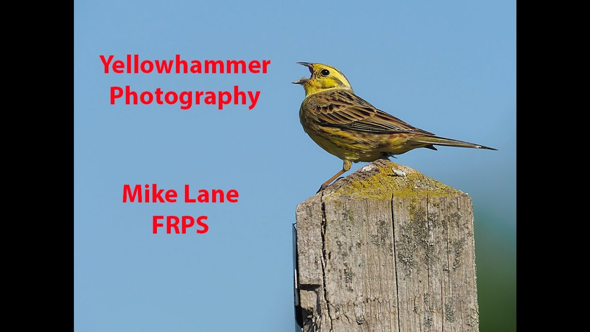 Photographing Yellowhammers
