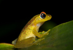 Red-backed frog, boophis rappoides