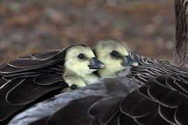 Greylag goose 93165.jpg