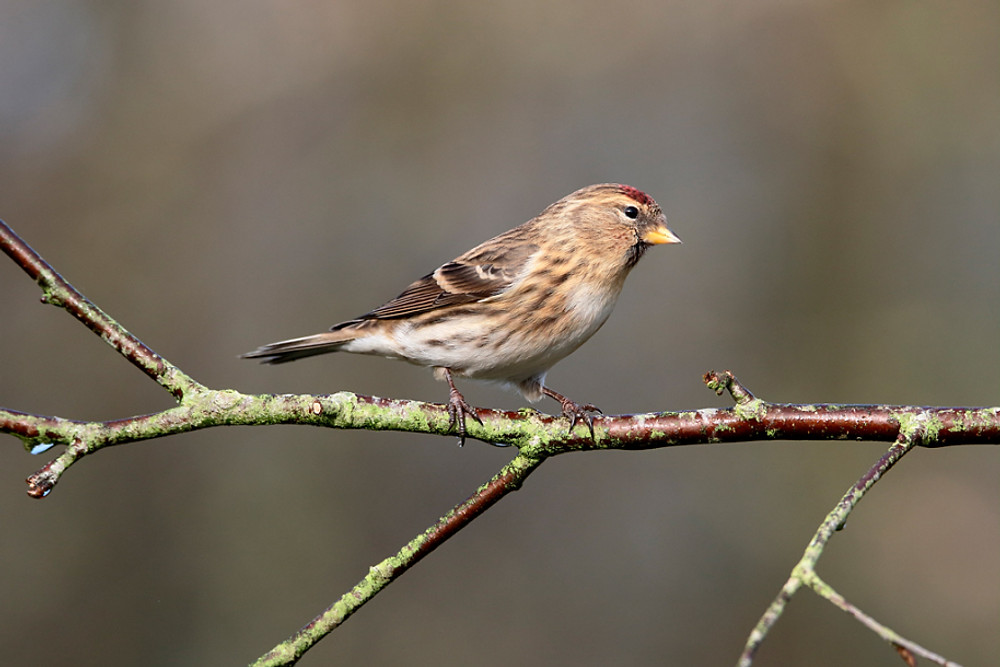 Lesser redpoll, Acanthis cabaret, single bird on branch, Warwickshire, January 2016