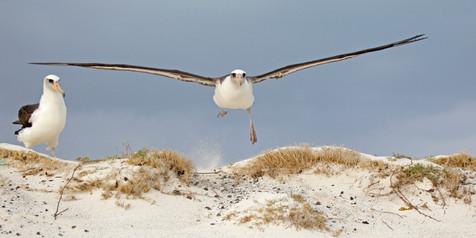 Laysan Albatross taking off