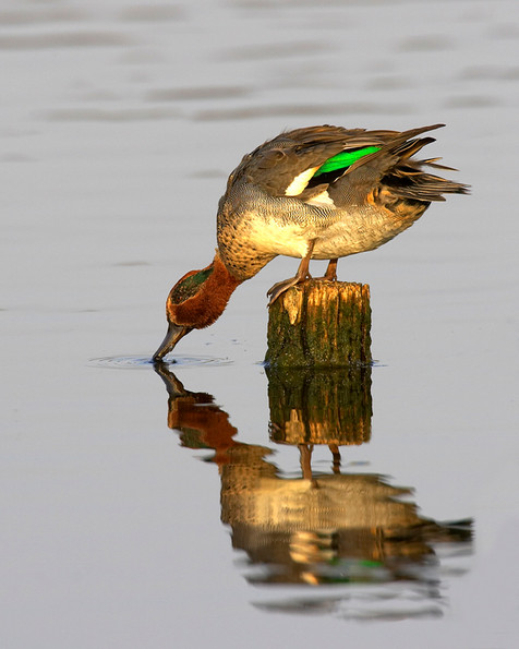 Teal drinking