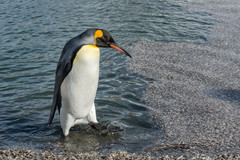 King penguin and feathers