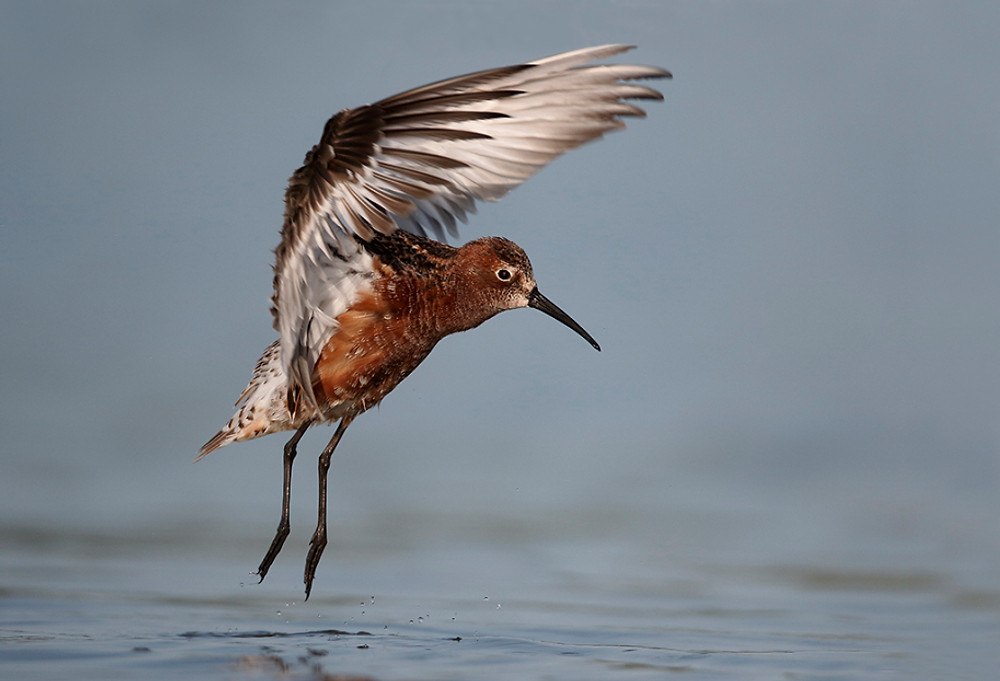 Curlew sandpiper, Calidris ferruginea,  single bird in water wing stretching, Romania, May 2015