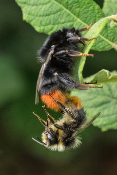 Red-tailed bumblebees