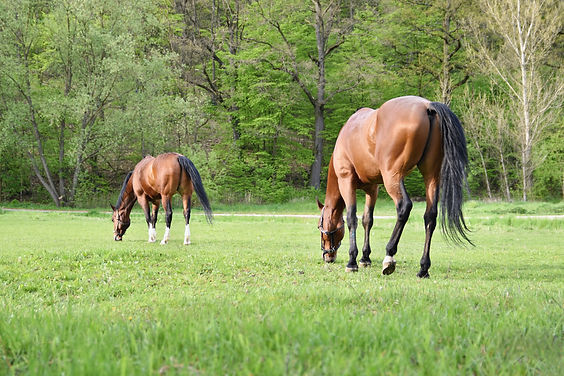 beautiful-horses-grazing-freely-in-natur