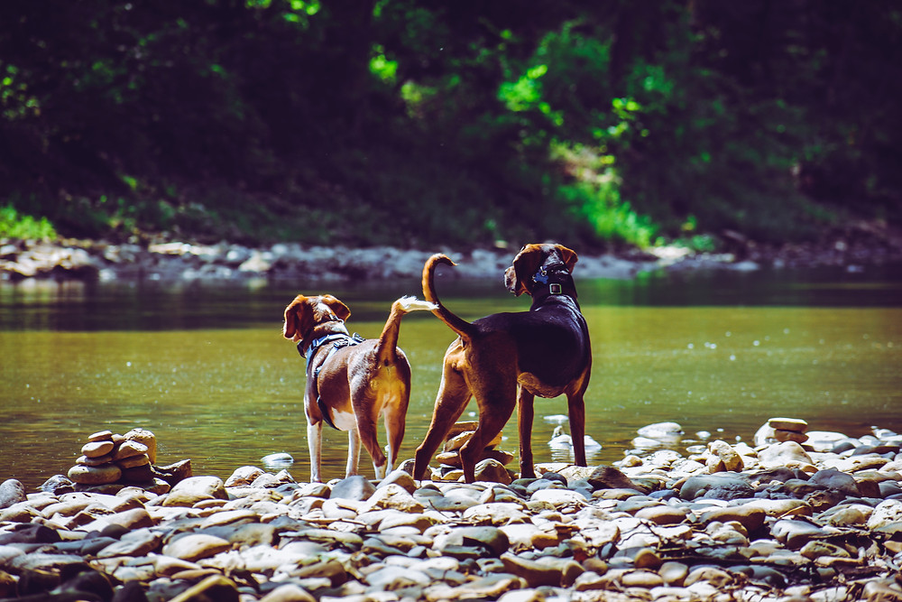 Two dogs on the rocky edge of a stream - Hearts in Harmony dog training
