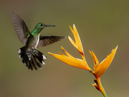 Book Review of My Costa Rican Humming Bird Sings