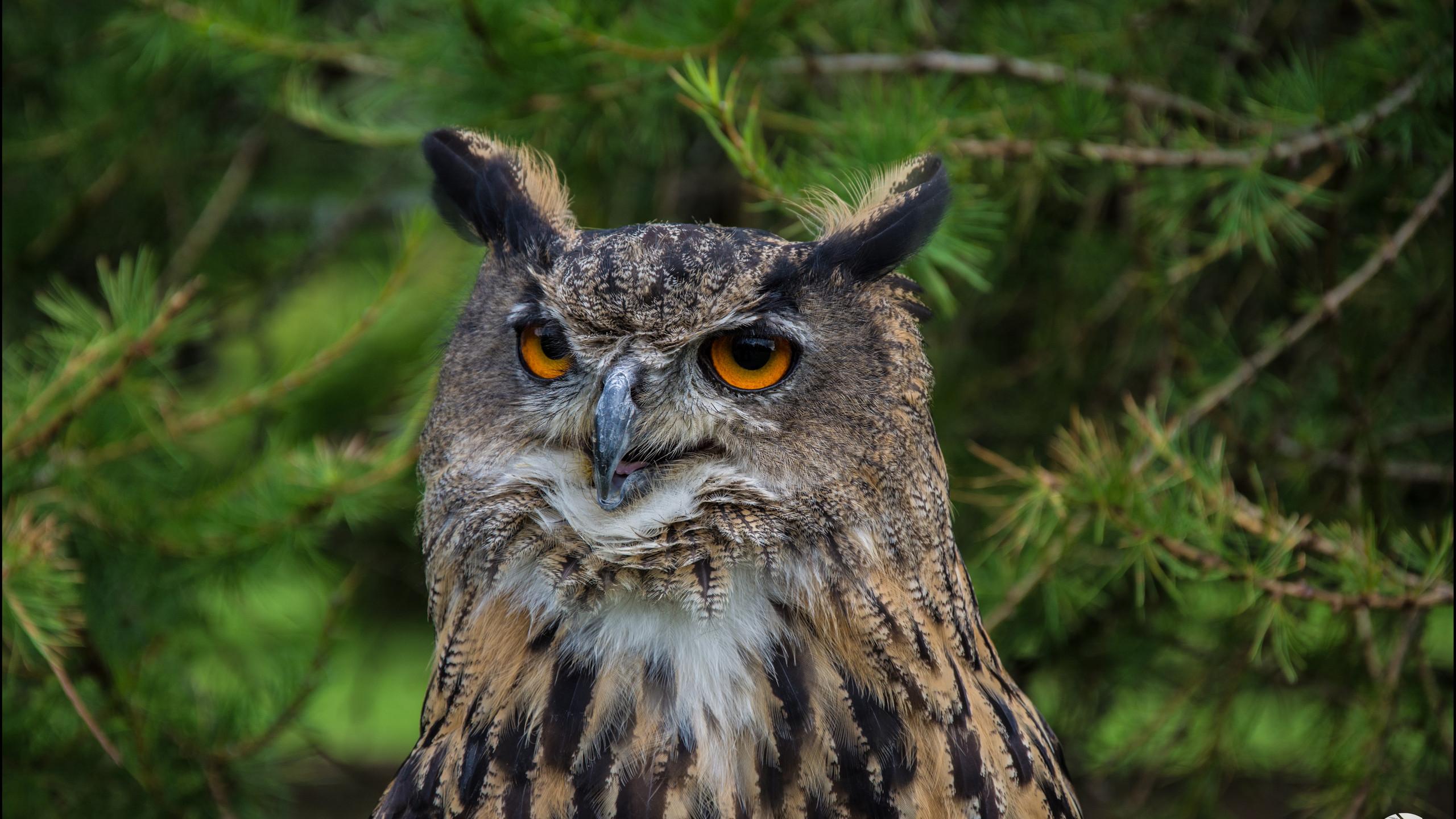 'The Eurasian eagle-owl'