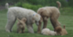 Goldendoodle Breeder