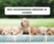 best-Goldendoodle-breeders-in-illinois-1