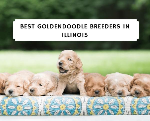 best-Goldendoodle-breeders-in-illinois-1