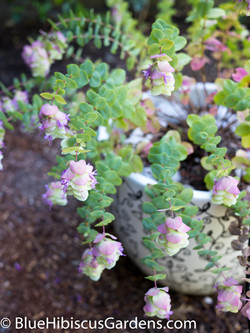 Oregano 'Kent Beauty'