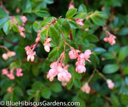 Begonia fuchsioides