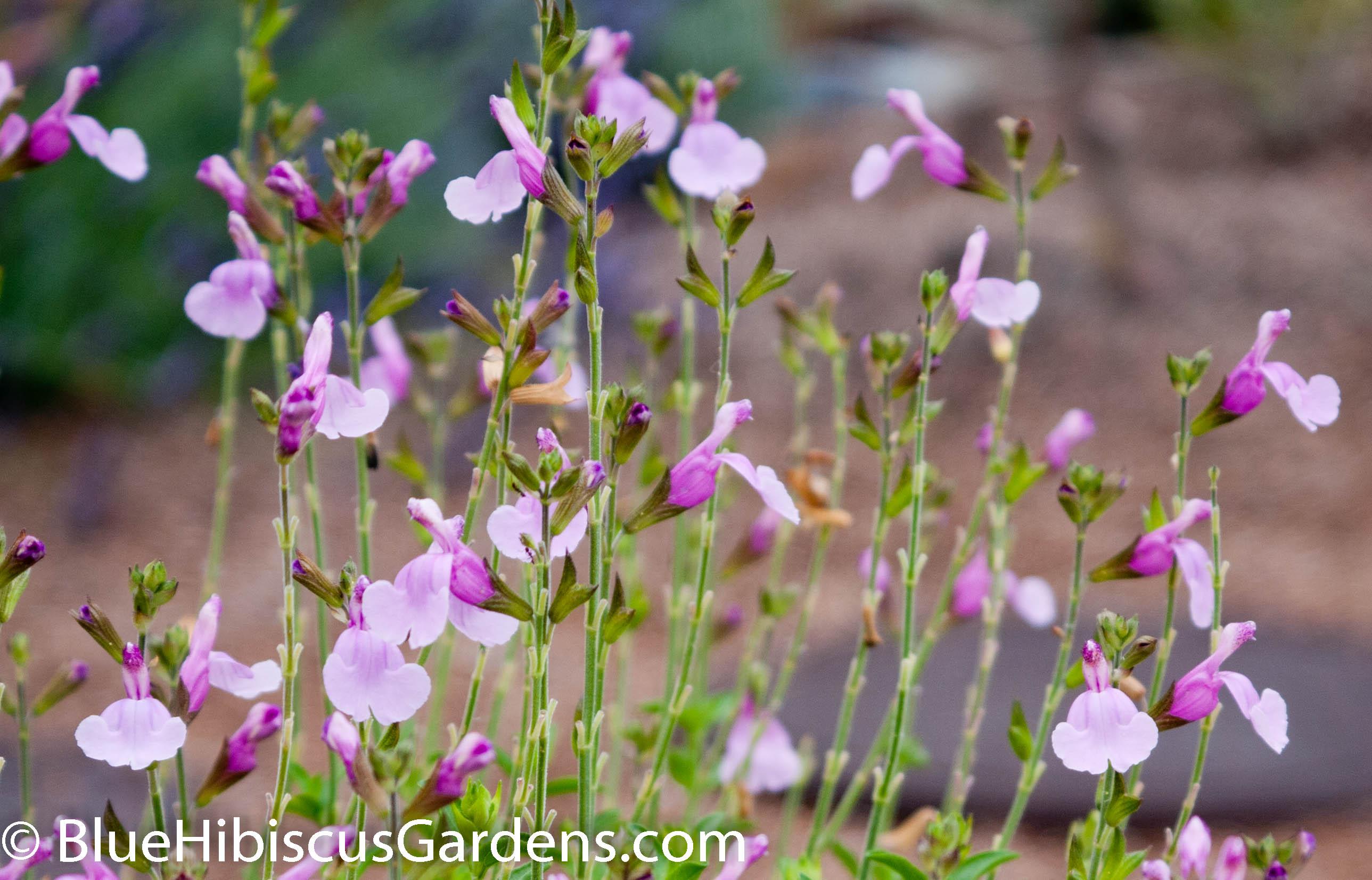 Salvia greggii 'Playa Rosa'