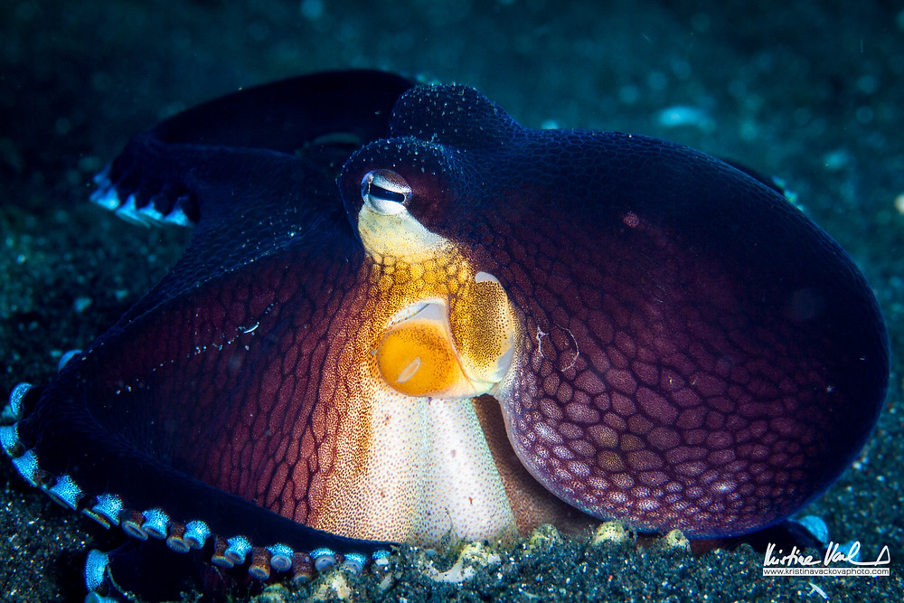 Coconut Octopus playing with his shell