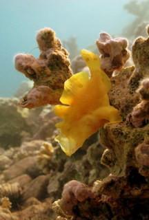 Yelling yellow frogfish, natural light, Dahab 2012