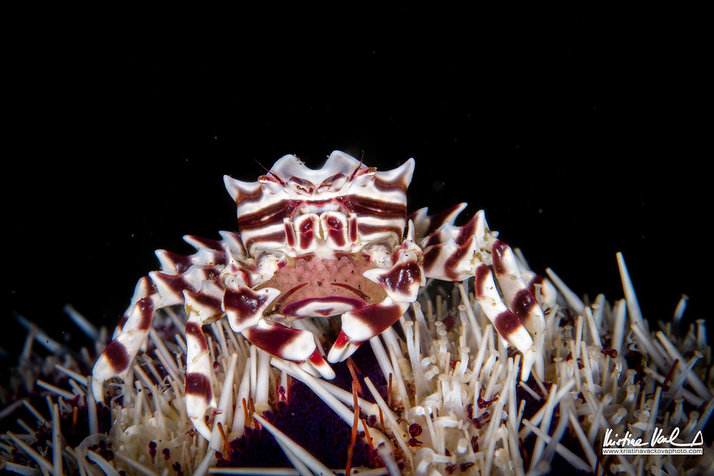 Zebra Crab (Zebrida adamsii) full of eggs.