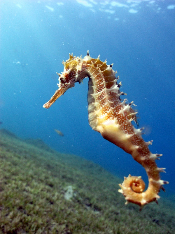 A sea horse with the natural light, Dahab 2012