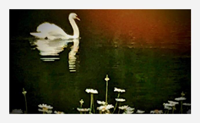 Swan in King George's Park
