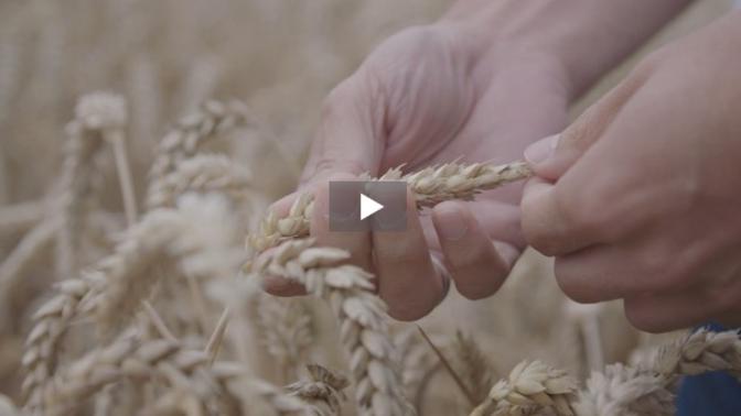 Superpflanzen: Gen-Revolution in der Landwirtschaft - SRF Einstein