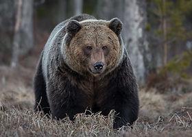 Fotoresor till Finland med naturfotograf Magnus Fredriksson. En upplevelseresa med fokus på rovdjur, björn, järv och varg.