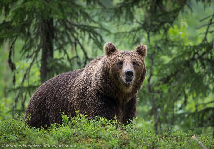 Björnfoto i fina skogsmiljöer