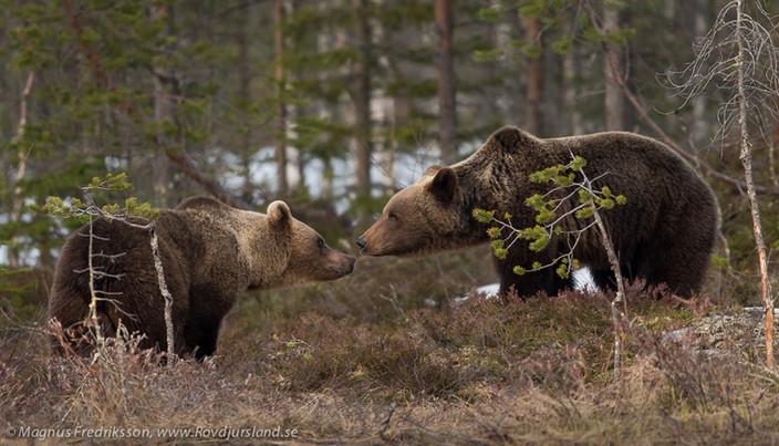 Förbättringar på Wild Brown Bear lodge