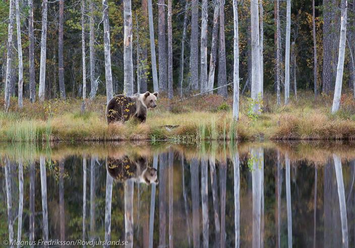 Bästa björnfoto till bästa pris!