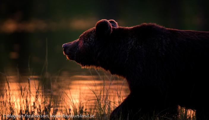 Bok om björnfoto till alla som bokar resa 2017!