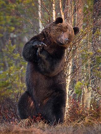 Fotoresor och björnsafari i Norden