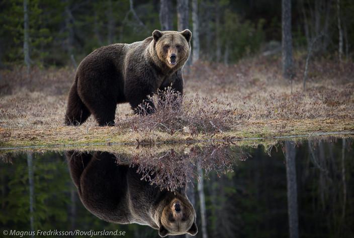 Den största och mest fotogeniska björnen!