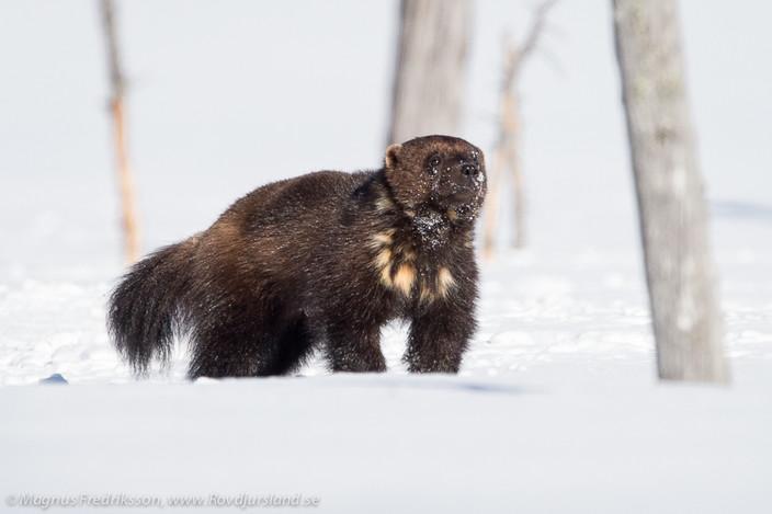 Nu vaknar björnarna! Järvarna är dagaktiva!