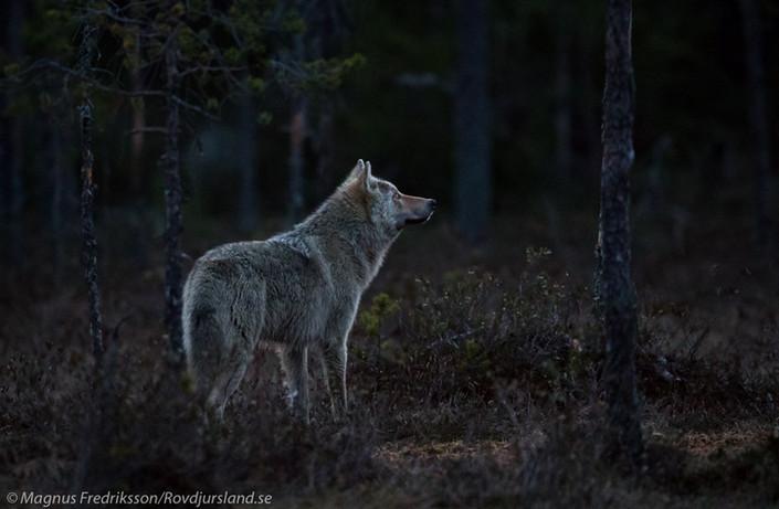 Vargarna ses oftare i år!