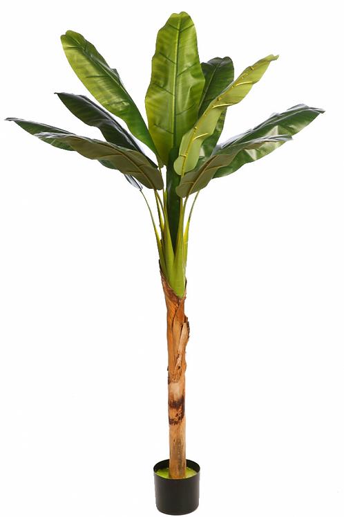 Platanera Tropic