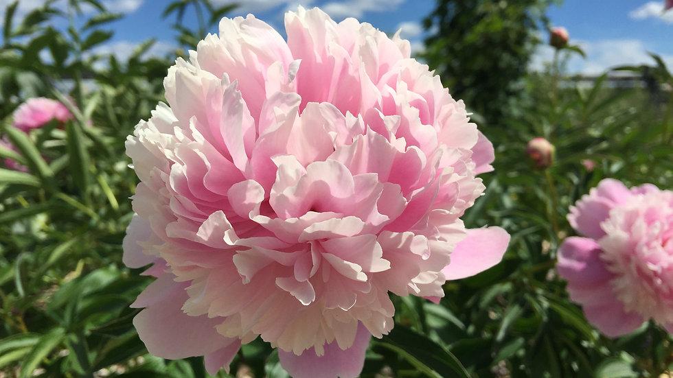 Kelway's Rosemary - Peony