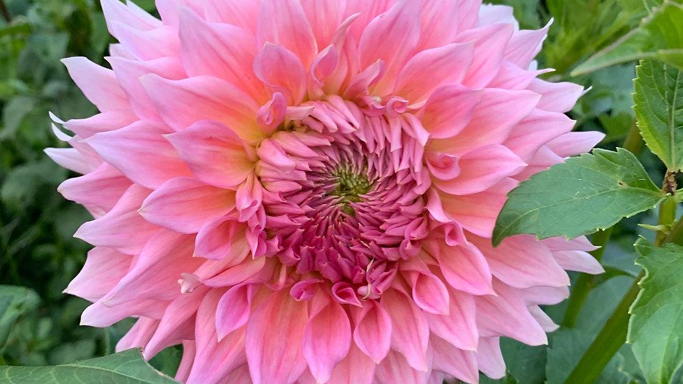 Wyn's Pink Pearl - Dahlia