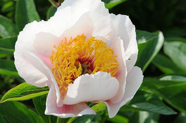 Rose Noble (3).JPG
