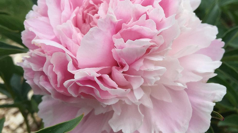 Dresden Pink - Peony