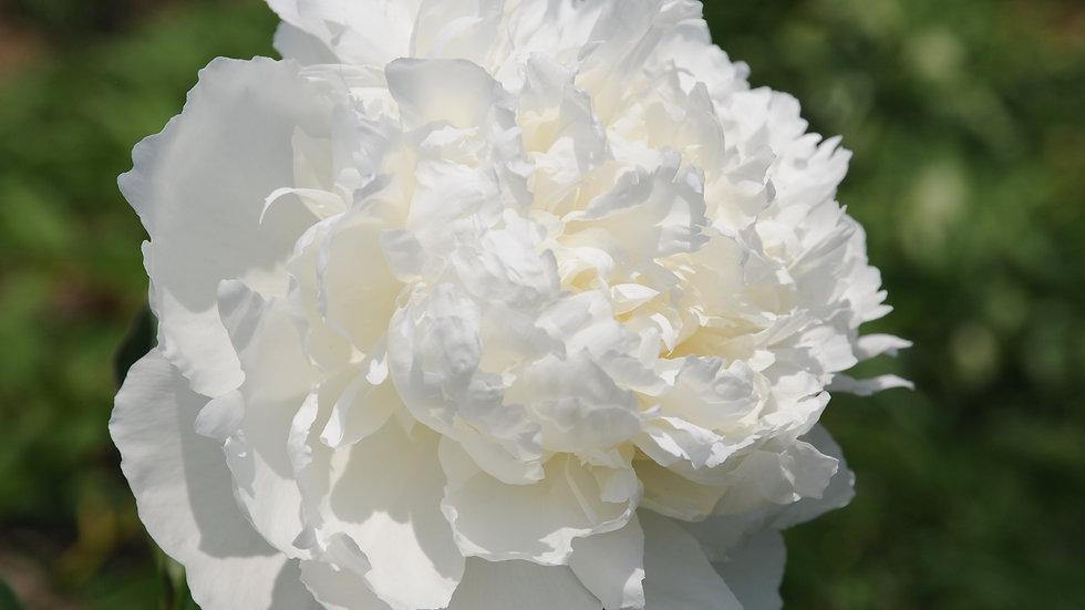 White Charm