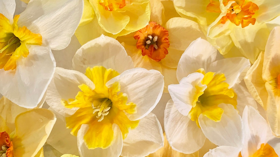 Specialty Daffodil Collection